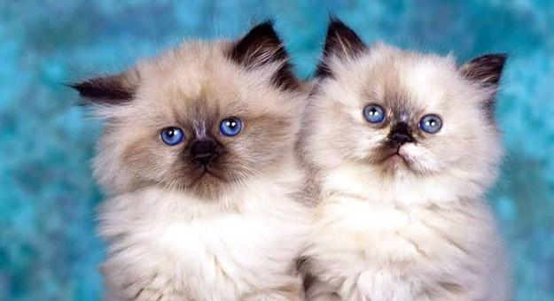 بالصور قطط شيرازى , جمال القطط الشيرازى فى البيت 5851 2