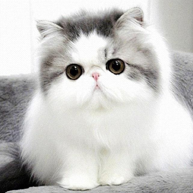بالصور قطط شيرازى , جمال القطط الشيرازى فى البيت 5851 3