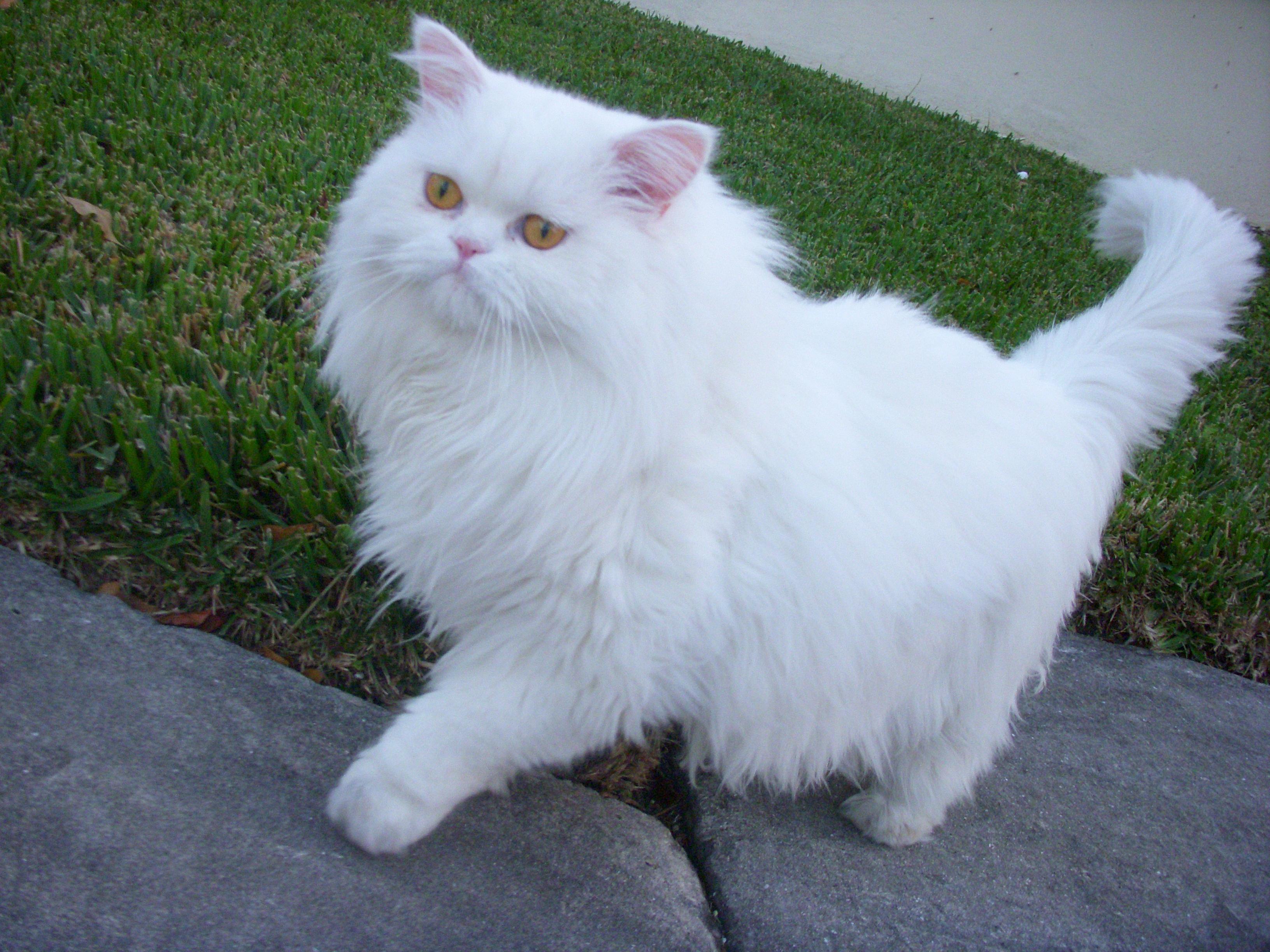 صورة قطط شيرازى , جمال القطط الشيرازى فى البيت