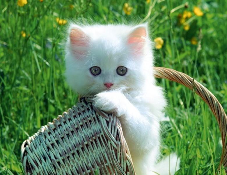 بالصور قطط جميلة , اجمل القطط التى يمكن ان تراها عينك 5991 1