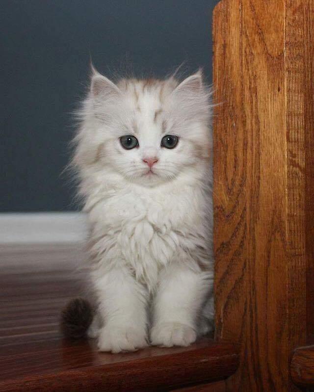 بالصور قطط جميلة , اجمل القطط التى يمكن ان تراها عينك 5991 3