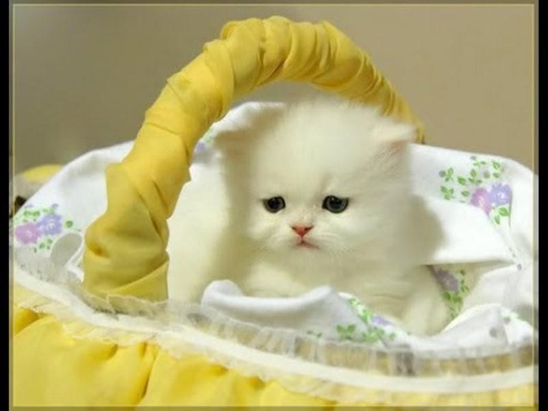 بالصور قطط جميلة , اجمل القطط التى يمكن ان تراها عينك 5991 5