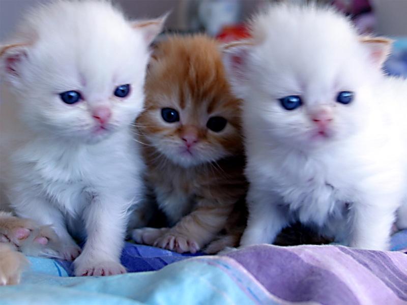 بالصور قطط جميلة , اجمل القطط التى يمكن ان تراها عينك 5991 7