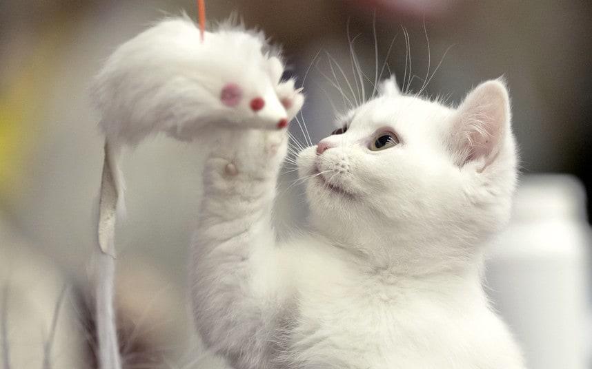 بالصور قطط جميلة , اجمل القطط التى يمكن ان تراها عينك 5991 8