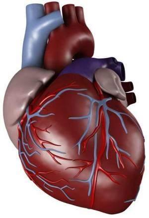 صور صور قلب الانسان , شكل قلب الانسان ومواصفاته