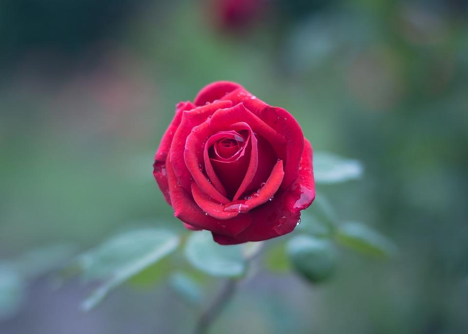 بالصور صور ورود جميله , اجمل اشكال والوان الورود 6250 5