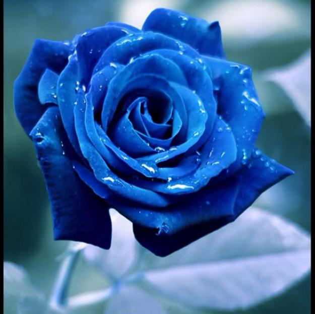 بالصور صور ورود جميله , اجمل اشكال والوان الورود 6250