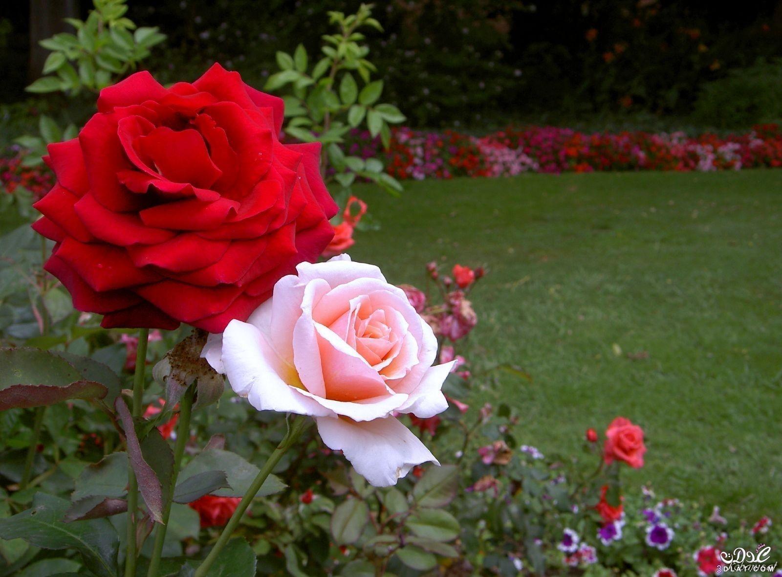 بالصور صور زهور جميلة , افضل الصور للزهور الجميلة 4708 9