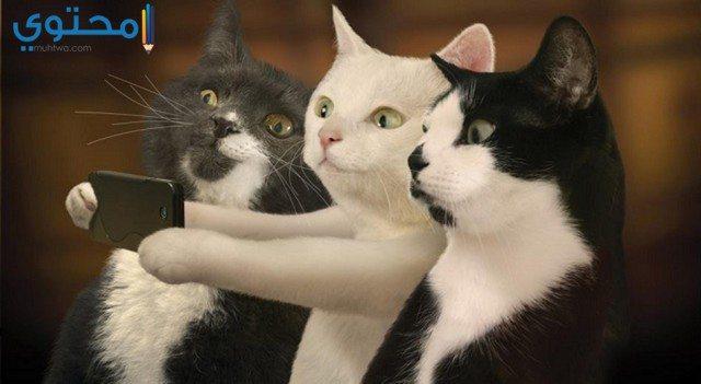 بالصور صور قطط مضحكة , شاهد افضل الصور المضحكة للقطط الان 5065 11
