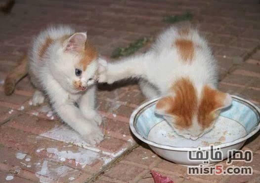 بالصور صور قطط مضحكة , شاهد افضل الصور المضحكة للقطط الان 5065 9