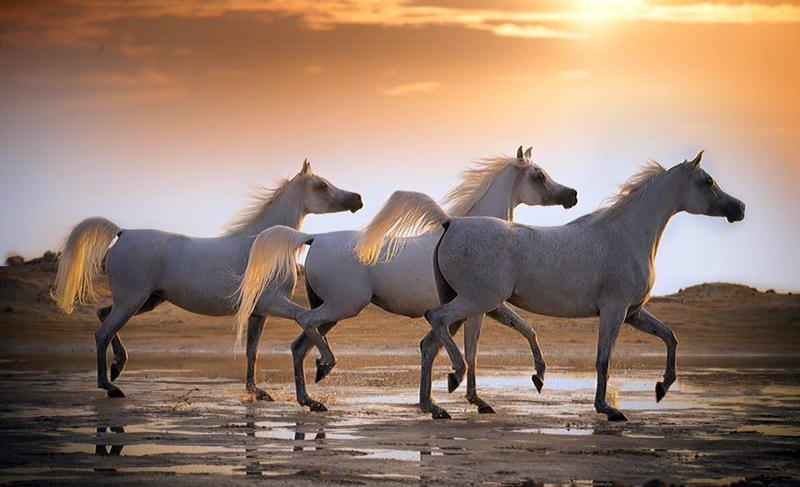 بالصور خيل عربي اصيل , لمن يعشق الخيول العربيه 6028 1