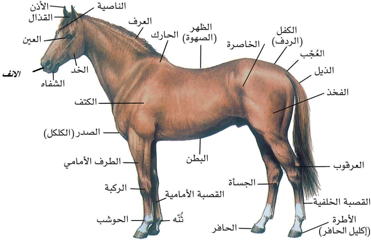 بالصور خيل عربي اصيل , لمن يعشق الخيول العربيه 6028 2