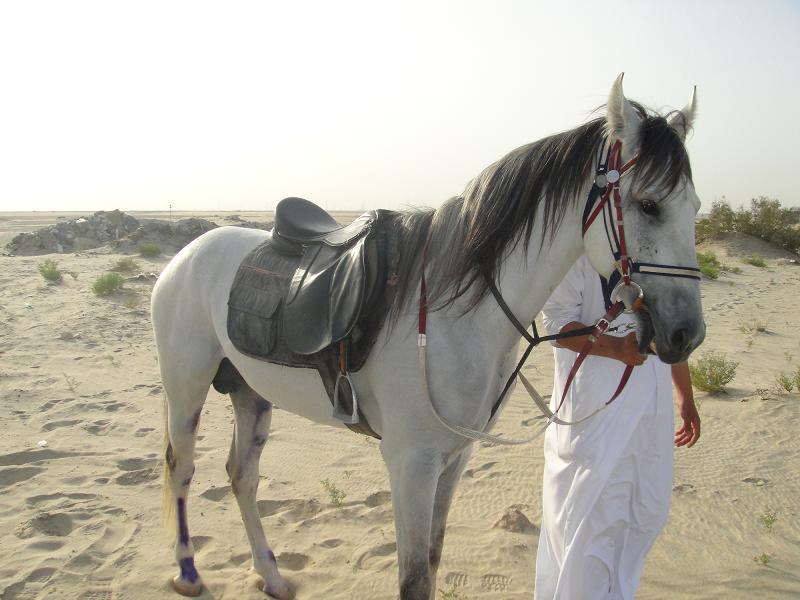 بالصور خيل عربي اصيل , لمن يعشق الخيول العربيه 6028 6