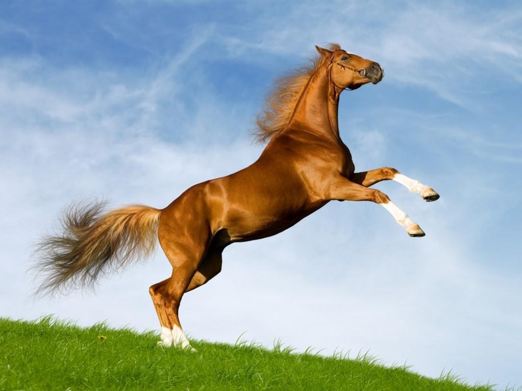 بالصور خيل عربي اصيل , لمن يعشق الخيول العربيه 6028 7