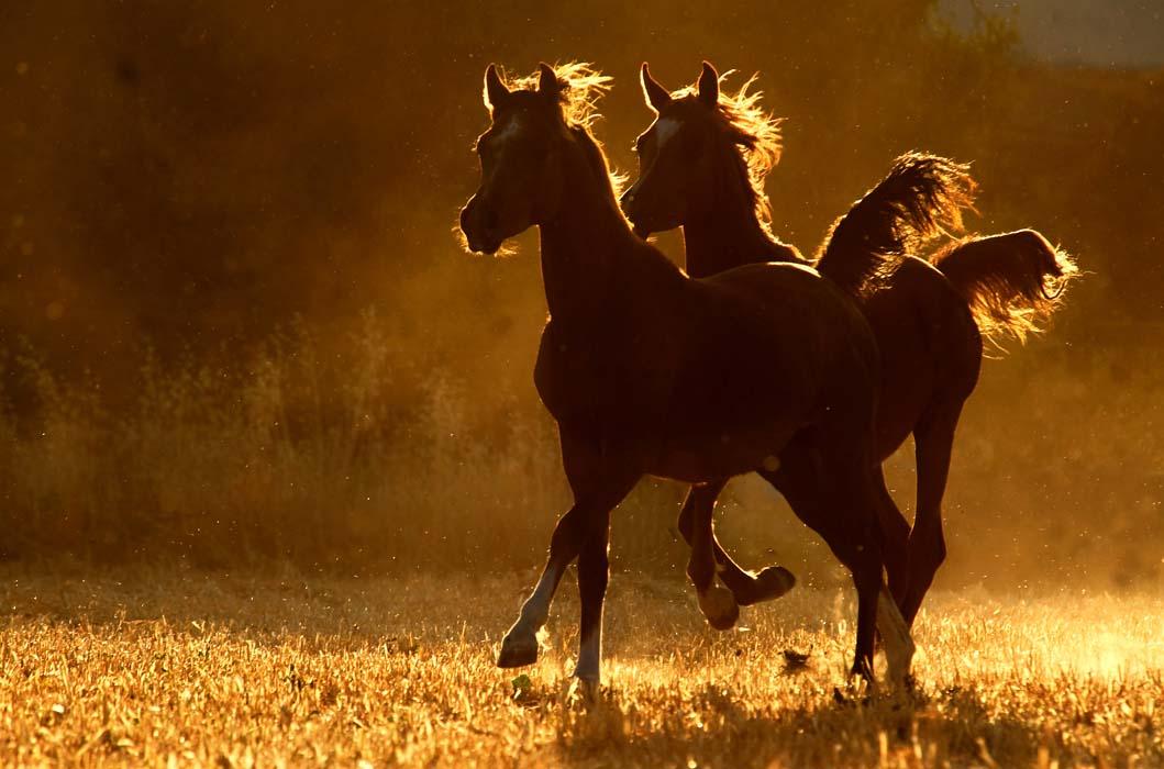 بالصور خيل عربي اصيل , لمن يعشق الخيول العربيه 6028 8