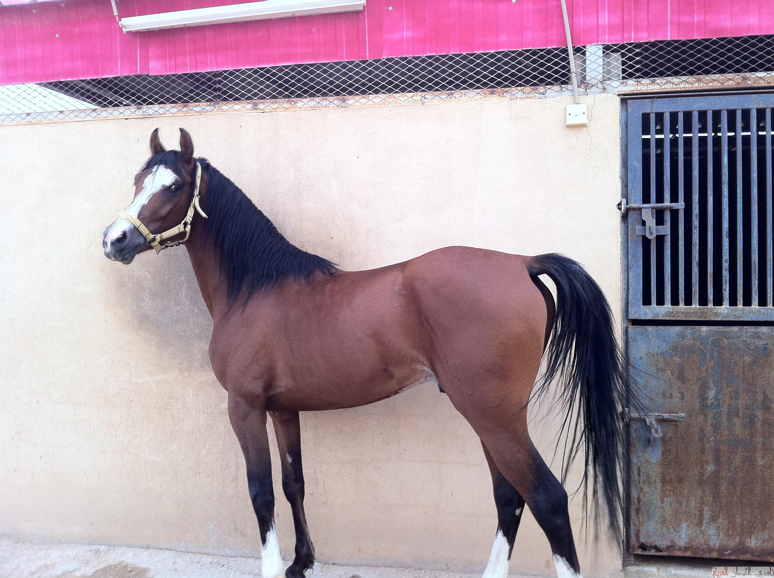 بالصور خيل عربي اصيل , لمن يعشق الخيول العربيه 6028 9