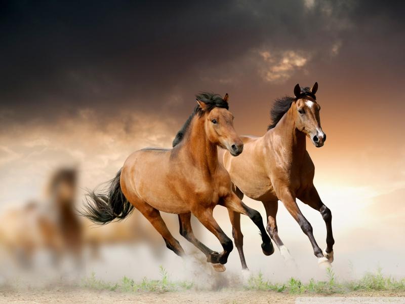 بالصور خيل عربي اصيل , لمن يعشق الخيول العربيه 6028