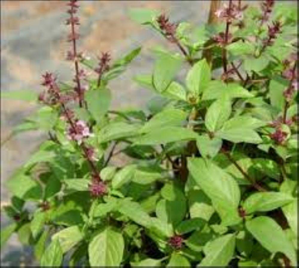 بالصور ما هو الحبق , تعرف على نبات الحبق 6060 2