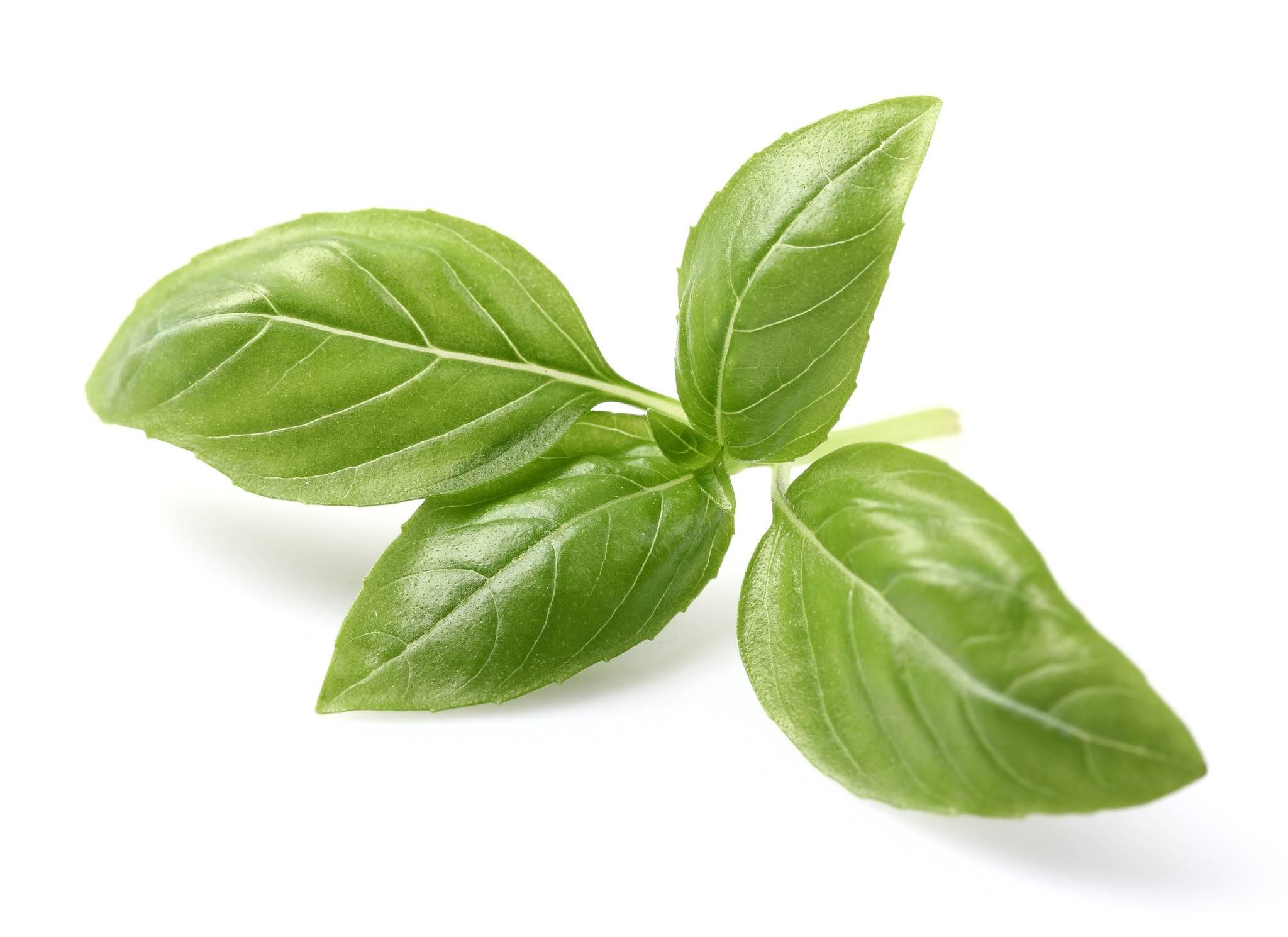 صور ما هو الحبق , تعرف على نبات الحبق