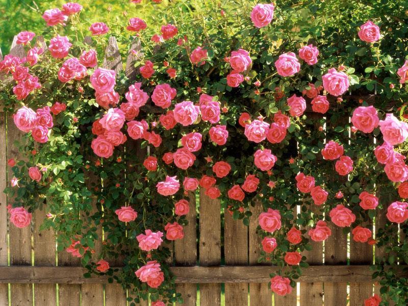 بالصور شعر عن الورد , اجمل كلام يقال عن الورد 6109 5