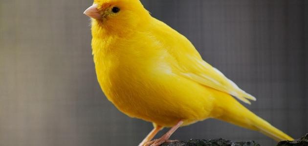 صور صور كناري , اجمل اشكال عصافير الكنارى