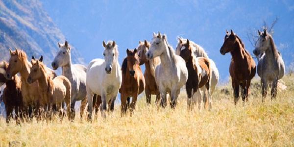 صوره اجمل خيول في العالم , خيول جمالها مبهر
