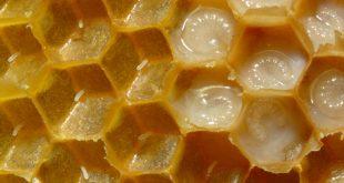 صوره فوائد غذاء ملكات النحل , تعرف على معلومات جديدة عن اسرار وفوائد غذاء الملكات