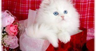 صوره اجمل صور قطط , الطف الحيوانات الاليفه القطط