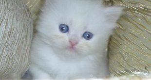 صوره صور قطط شيرازي , صور جميله جدا للقطط الشيرازي و لا احلي
