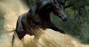 بالصور خيل اصيل , الخيول العربية الاصيلة 5579 10 310x165