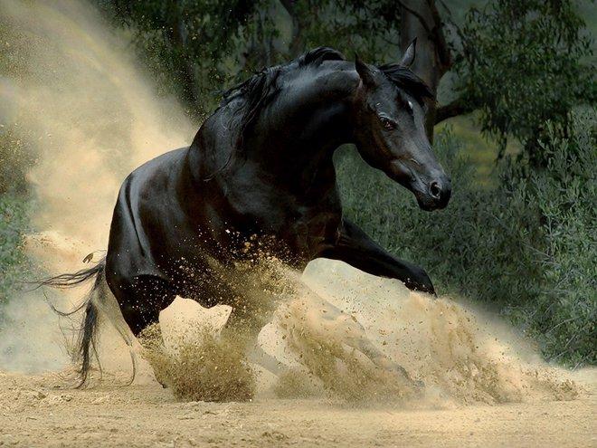 صوره خيل اصيل , الخيول العربية الاصيلة