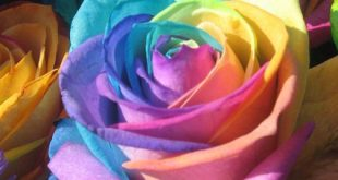 صورة اجمل وردة في العالم , لهذا يطلق عليها اجمل وردة