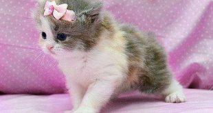 صورة صور قطط جميلة , اجمل فصائل القطط الفريدة