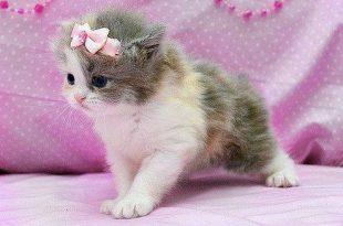 بالصور صور قطط جميلة , اجمل فصائل القطط الفريدة 243 12 310x205