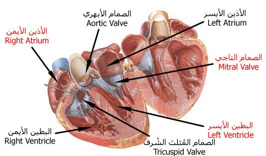 بالصور اعراض امراض القلب , اعراض هامة تخبرنا بضرورة الكشف على صحة قلوبنا 3045 2