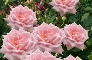 بالصور ازهار جميله , صور ازهار طبيعيه وجميله 6470 11 310x205