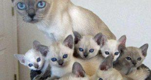 صورة قطط سيامو , اشكال متنوعه لقطط سيامو