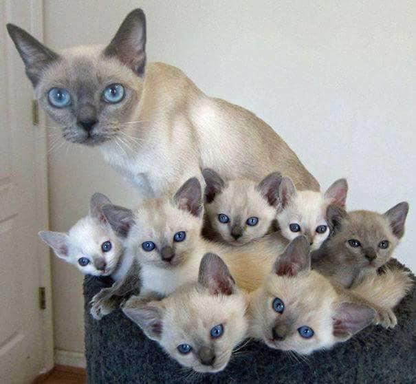 صوره قطط سيامو , اشكال متنوعه لقطط سيامو