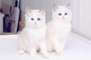 بالصور اجمل الصور للقطط في العالم , صور للقطط من اجمل الصور في العالم 6720 11 310x205