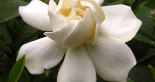 بالصور اجمل صور الورد , صور لارق انواع الزهور سهلة الزراعة في الحدائق المنزلية 2464 14 310x165