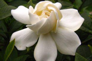 بالصور اجمل صور الورد , صور لارق انواع الزهور سهلة الزراعة في الحدائق المنزلية 2464 14 310x205
