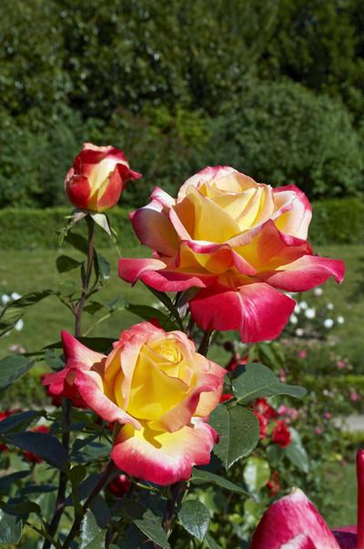 بالصور اجمل صور الورد , صور لارق انواع الزهور سهلة الزراعة في الحدائق المنزلية 2464 2