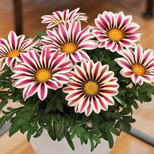 بالصور اجمل صور الورد , صور لارق انواع الزهور سهلة الزراعة في الحدائق المنزلية 2464 3