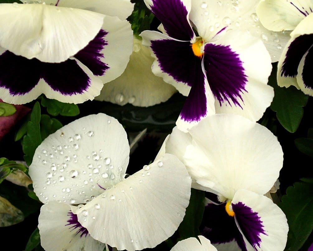 بالصور اجمل صور الورد , صور لارق انواع الزهور سهلة الزراعة في الحدائق المنزلية 2464 4
