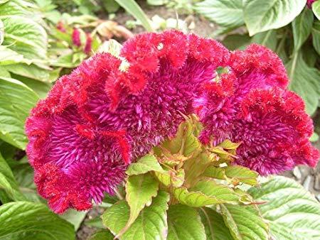 بالصور اجمل صور الورد , صور لارق انواع الزهور سهلة الزراعة في الحدائق المنزلية 2464 5