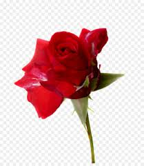 صورة صور خلفيات وردي , صور خلفيات الورد الجميلة