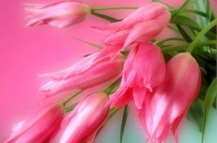 صور صور خلفيات وردي , صور خلفيات الورد الجميلة