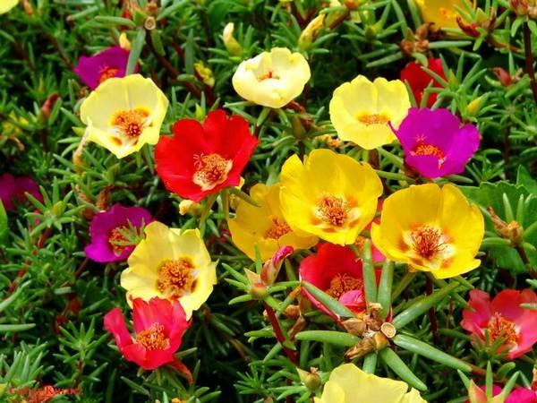 صورة صور اجمل الزهور , صور الورد الملون الجميل