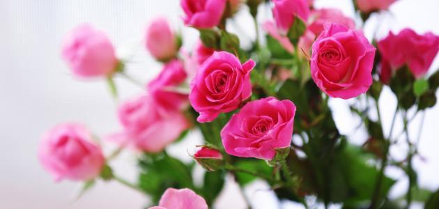 بالصور الورد في المنام لابن سيرين , ما اجمل الورد 13674 2