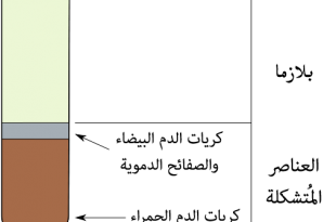 بالصور المعدل الطبيعي لكريات الدم البيضاء , ما هو العدد المناسب لكرات الدم البيضاء 13685 1 310x205